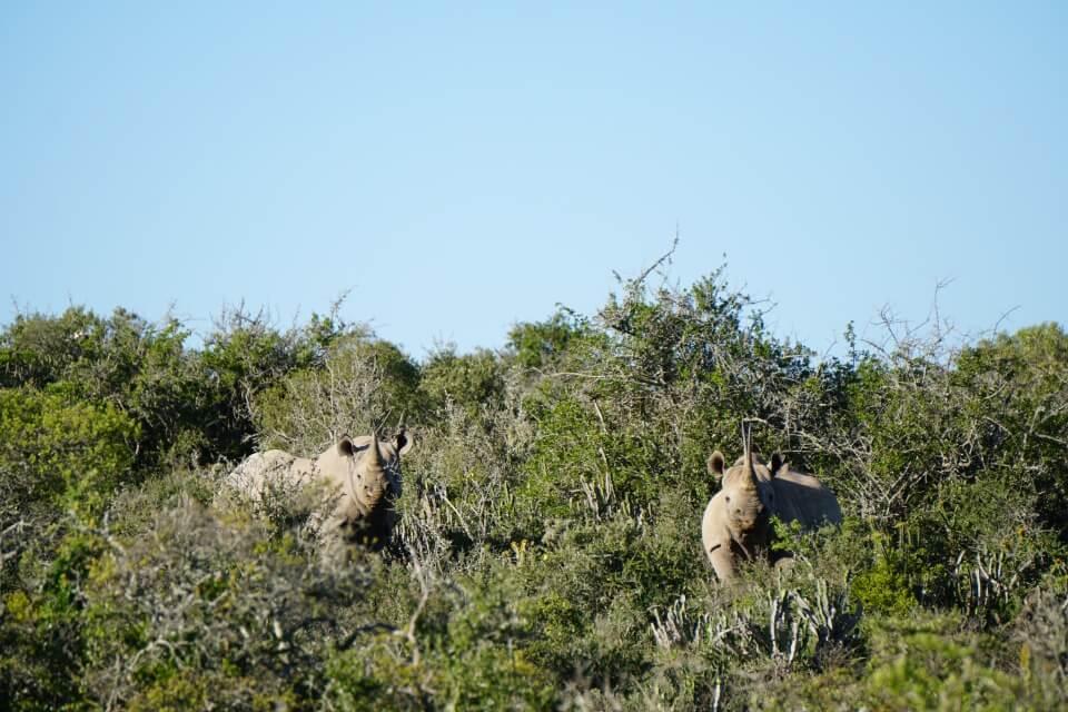 Die Nashoerner im Kwandwe Private Game Reserve lassen uns nicht aus den Augen