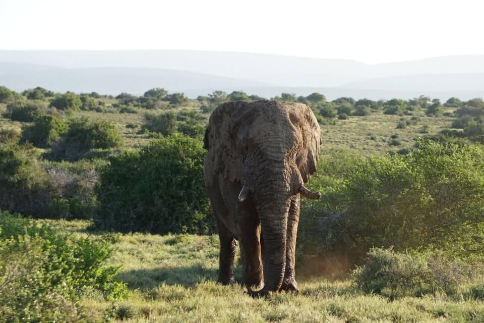 Ein Elefant in Musth im Kwandwe Private Game Reserve Suedafrika