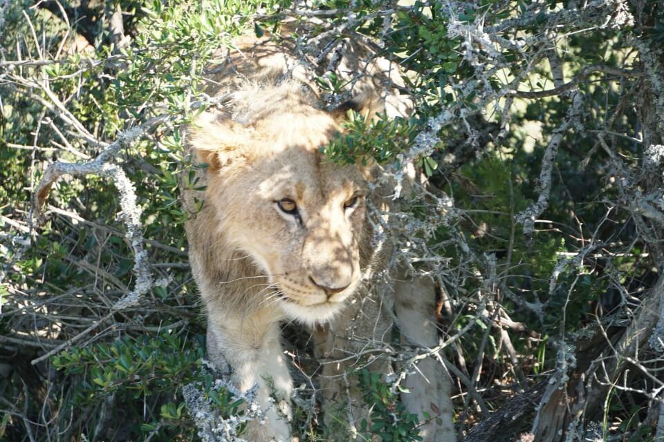 Loewe auf Safari im Kwandwe Private Game Reserve - Suedafrika Reiseblog Road Traveller