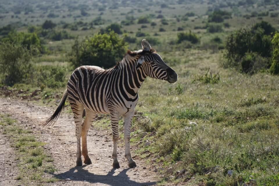 Zebra auf Safari im Kwandwe Private Game Reserve in Suedafrika