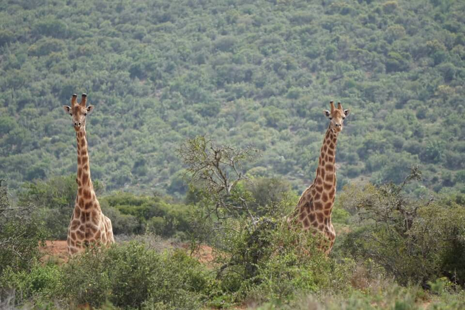 Giraffen im Kwandwe Private Game Reserve auf der Walking Safari