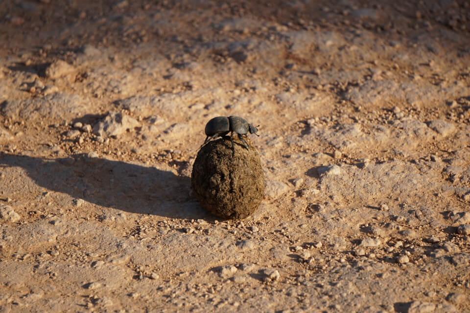 Putziger Dung Beetle im Arbeitseinsatz im Addo Elephant Nationalpark Suedafrika