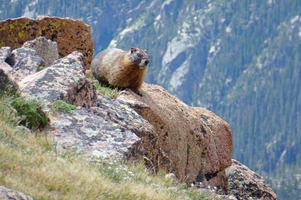 Marmot im Rocky Mountains Nationalpark in den USA