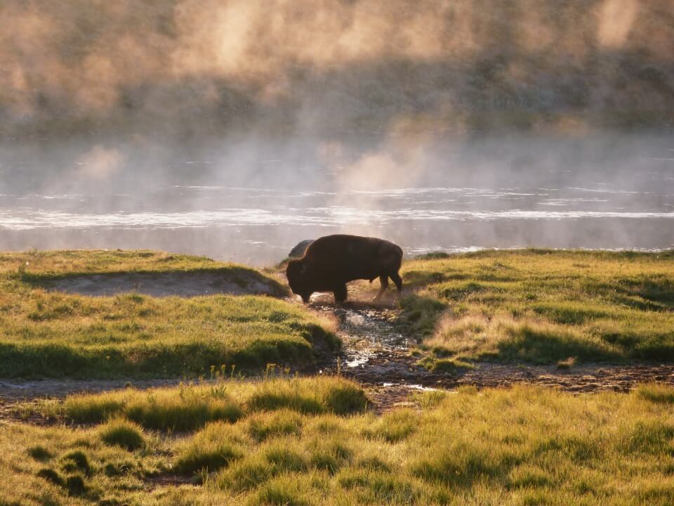 Bison im Morgendunst im Yellowstone Nationalpark