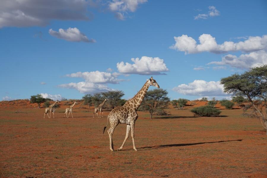 Giraffen beim Sunset Drive ueber die Game Ranch der Bagatelle Kalahari Lodge
