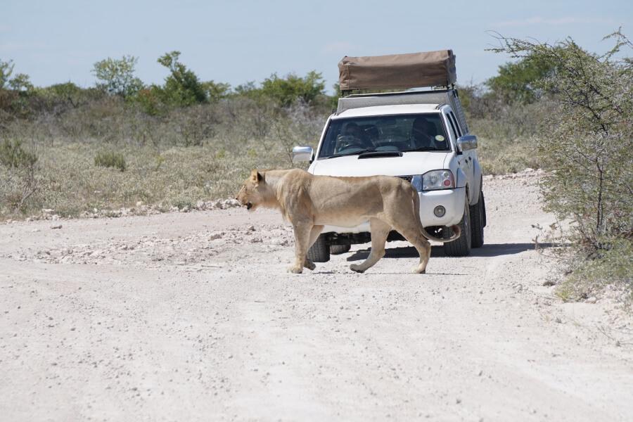 Loewe im Etosha Nationalpark