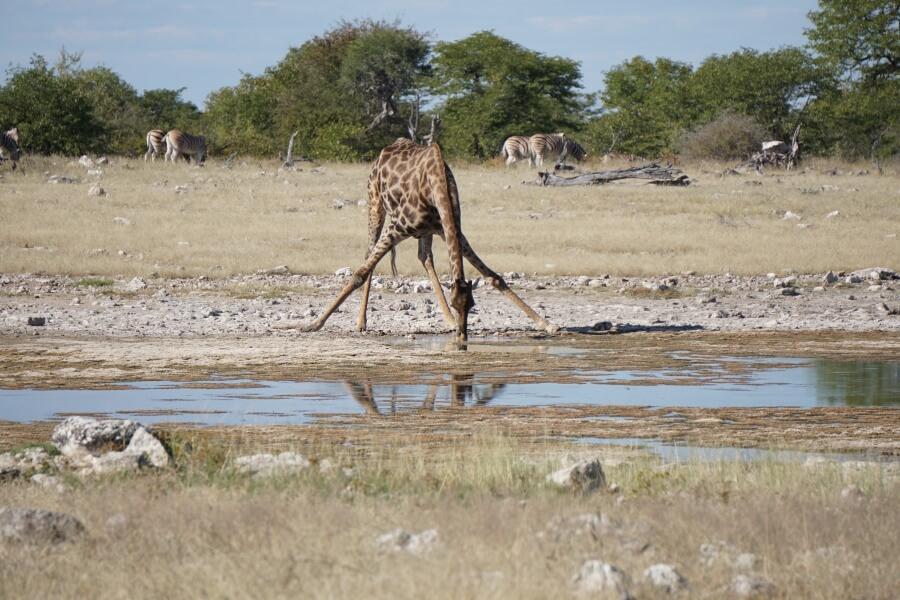 Giraffe im Etoscha Nationalpark am Wasserloch
