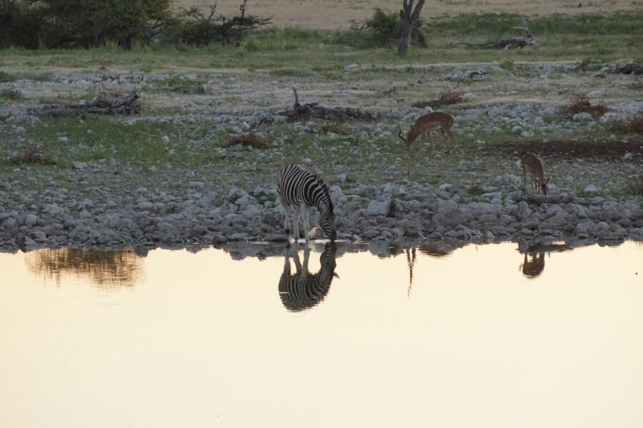Zebra am Wasserloch des Okaukuejo Restcamp