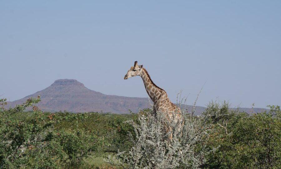 Eine Giraffe am Straßenrand in Namibia