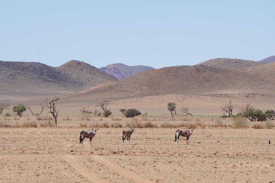Oryx Antilopen auf dem Weg ins Namib Rand Reservat