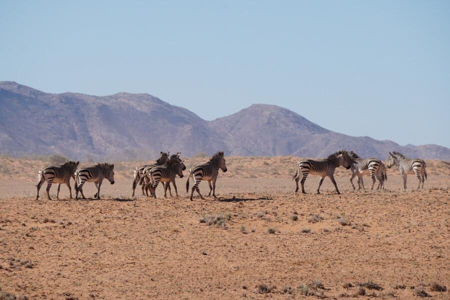 Zebras auf unserem Roadtrip durch Namibia