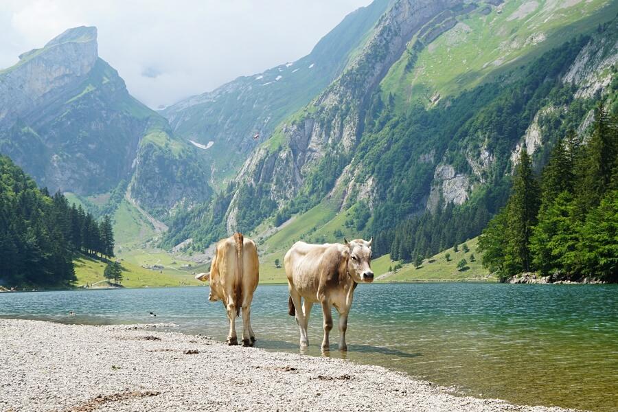Kuehe am zauberhaften Seealpsee bei Appenzell in der Schweiz