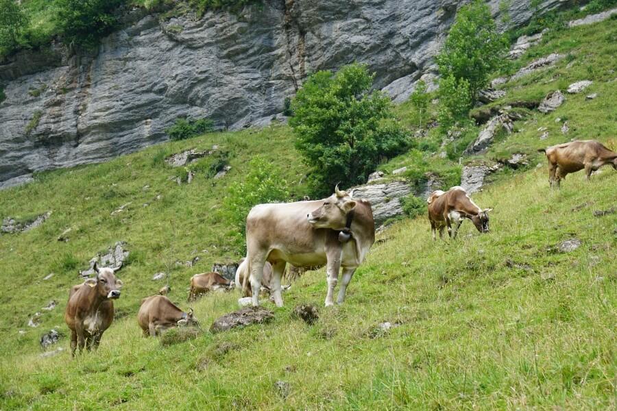 Kuehe auf der Wanderung zum Seealpsee im Alpsteingebirge in der Schweiz
