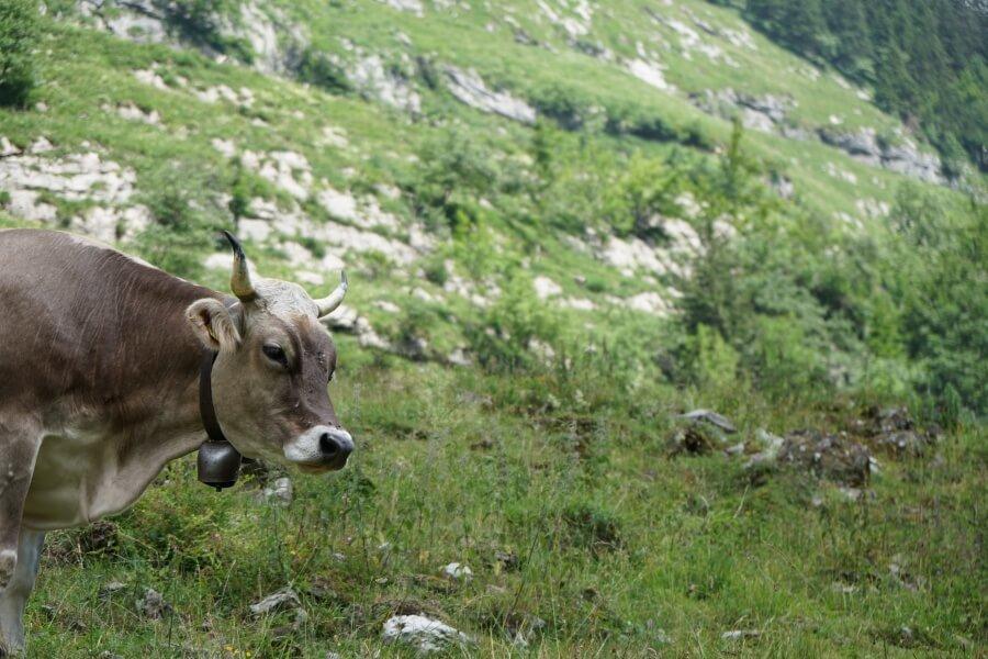 Eine Kuh auf der Wanderung zum Seealpsee bei Appenzell in der Schweiz