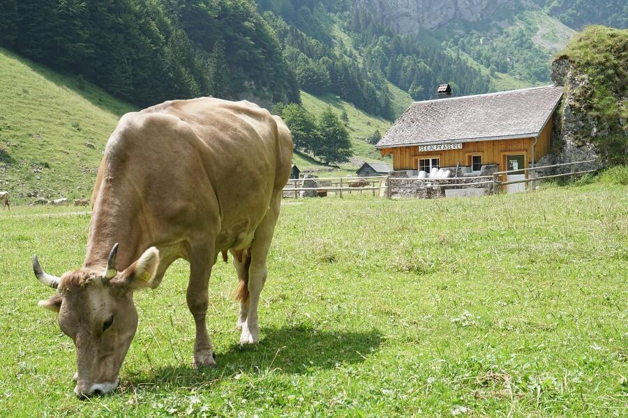 Eine Kuh am Seealpsee bei Appenzell