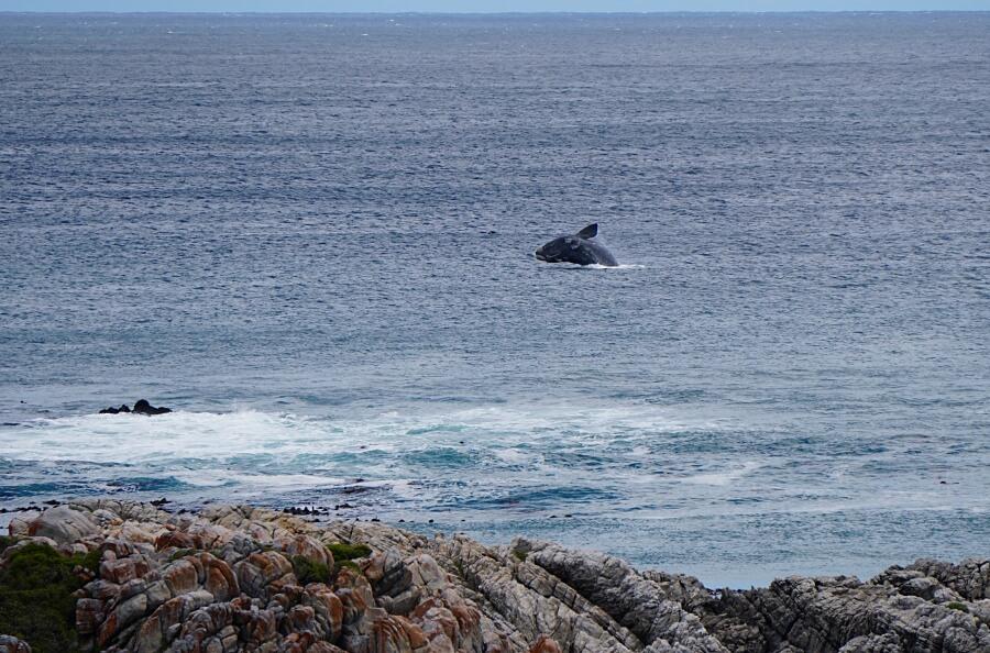 Wal in Gansbaai an der Garden Route Suedafrika