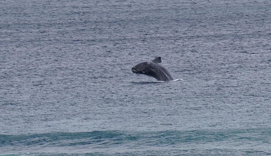 Springender Wal in De Kelders an der Garden Route in Suedafrika