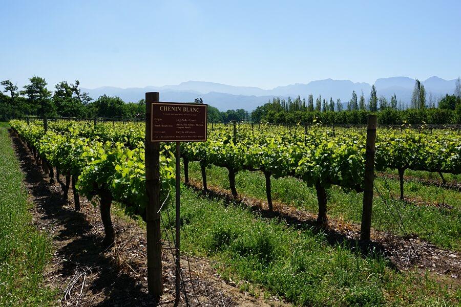 Weinreben in Franschhoek im Weinland Südafrikas