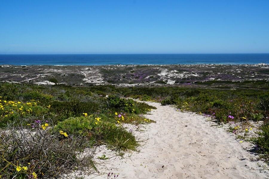 Sandpfad durch Wildblumen zum rauen Atlantik im West Coast Nationalpark