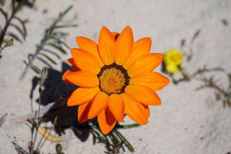 Wildblumenbluete im West Coast Nationalpark an der Westkueste Suedafrika
