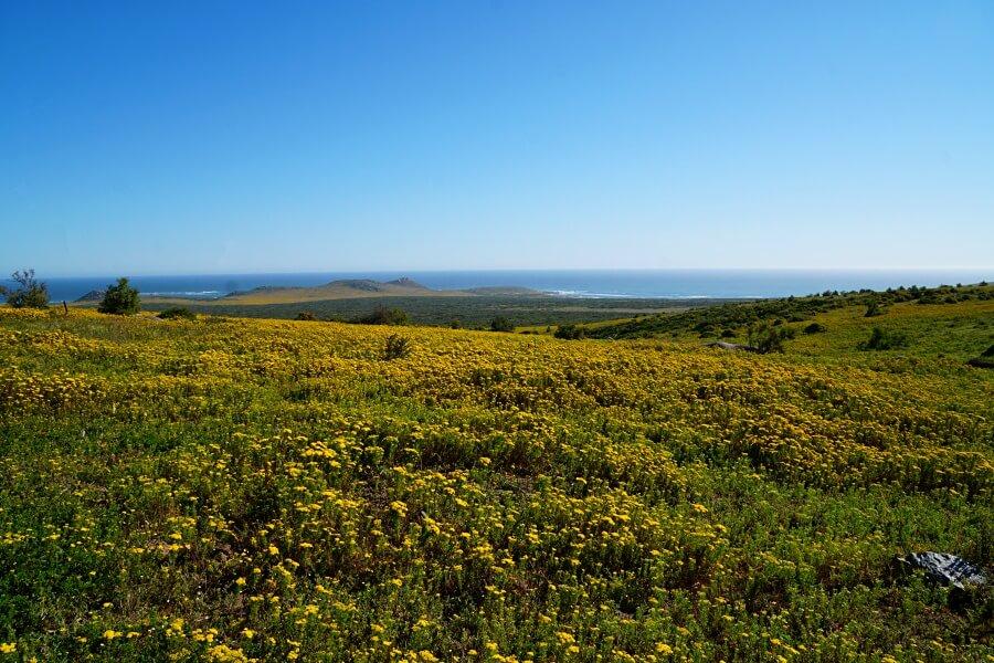 Wildblumenbluete im West Coast Nationalpark in Suedafrika