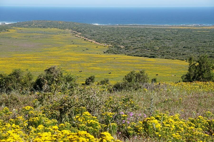 Wildblumen und Zebras im West Coast Nationalpark an Suedafrikas West Kueste