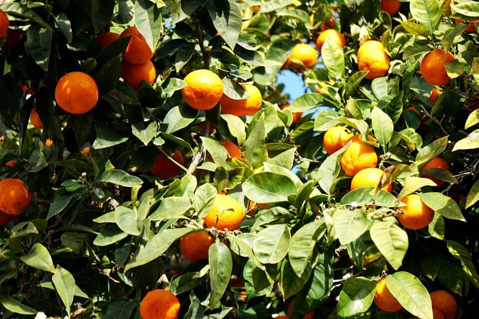 Orangen in Soller in der Serra de Tramuntana