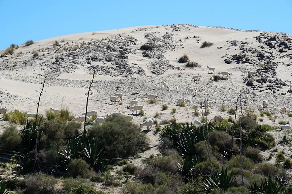Ziegen auf der Wanderduene im Cabo de Gata