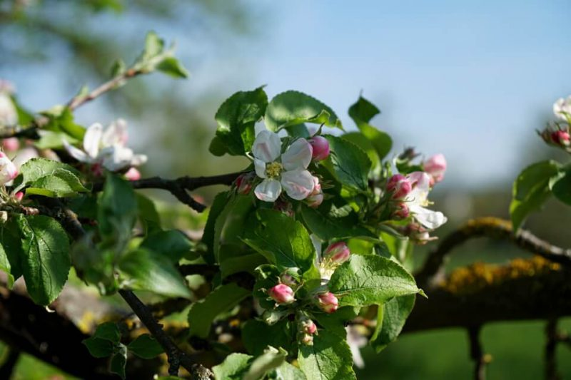 Apfelbluete im Renchtal