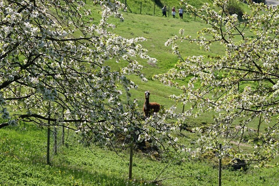 Ein Alpaka in Sasbachwalden
