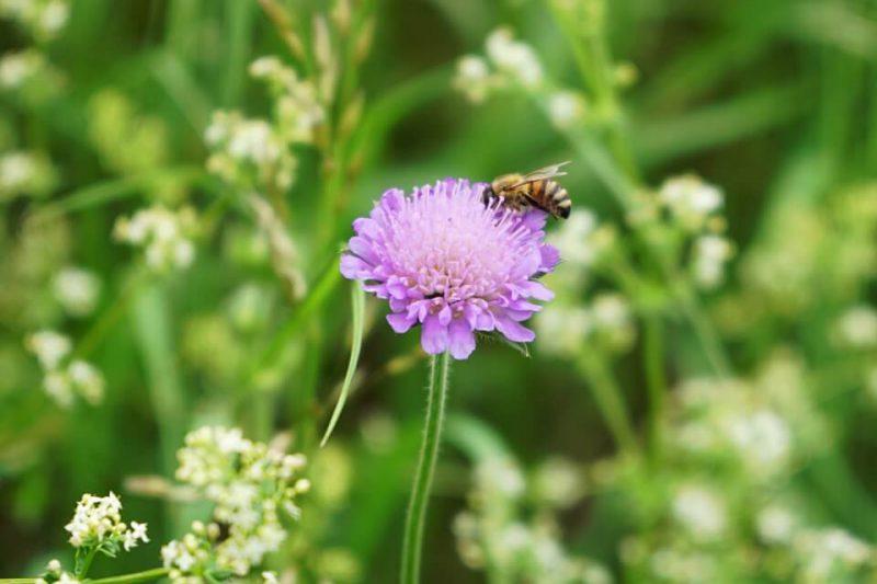 Biene im Schwaebischen Wald
