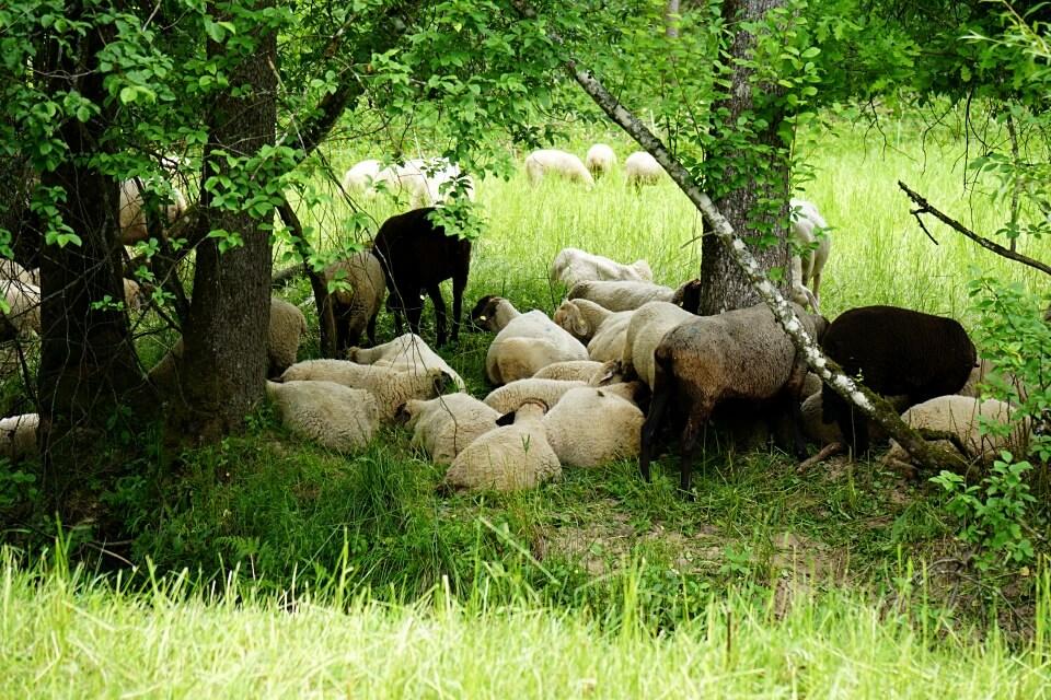 Schafe auf dem Muehlenwanderweg im Schwaebischen Wald