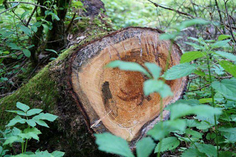 Baumstamm beim Wandern im Schwaebischen Wald