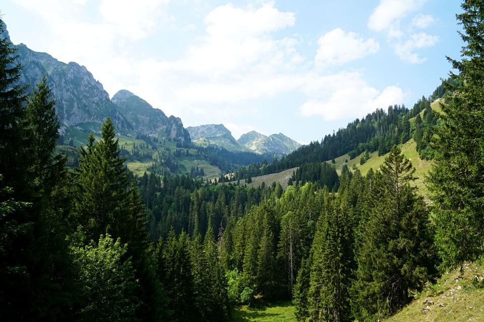 Tannen am Eingang zum Alpental Breccaschlund