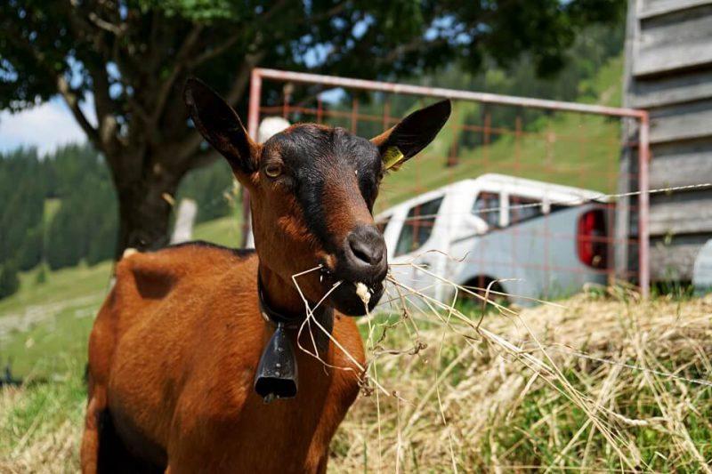 Hungrige Ziege auf der Alp Unterer Euschels