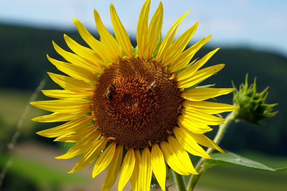 Sonnenblume in Hohenlohe