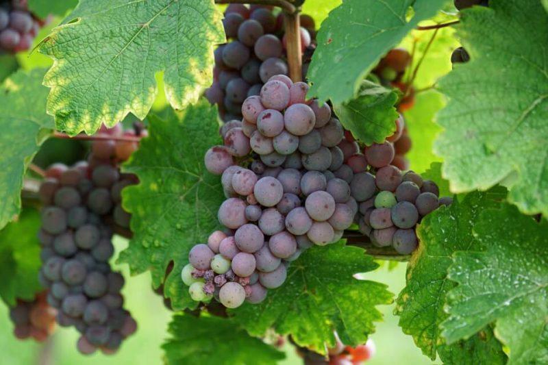 Wein an der Bergstrasse in Hessen