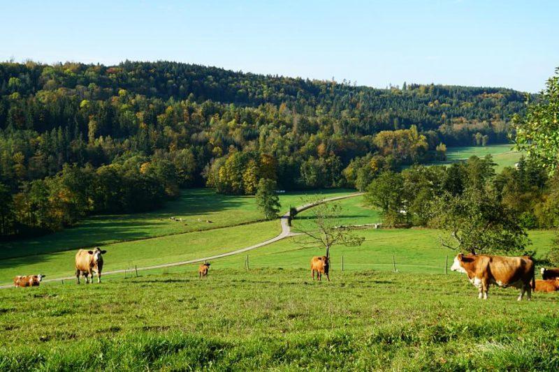 Landschaft mit Kuehen im Schwaebischen Wald