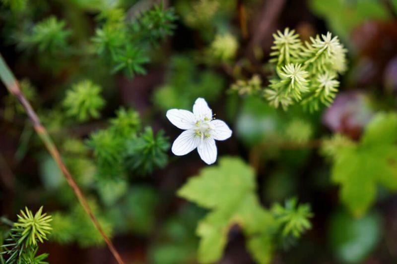 Blume im Vrata Tal auf dem Pot Triglavske Bistrice