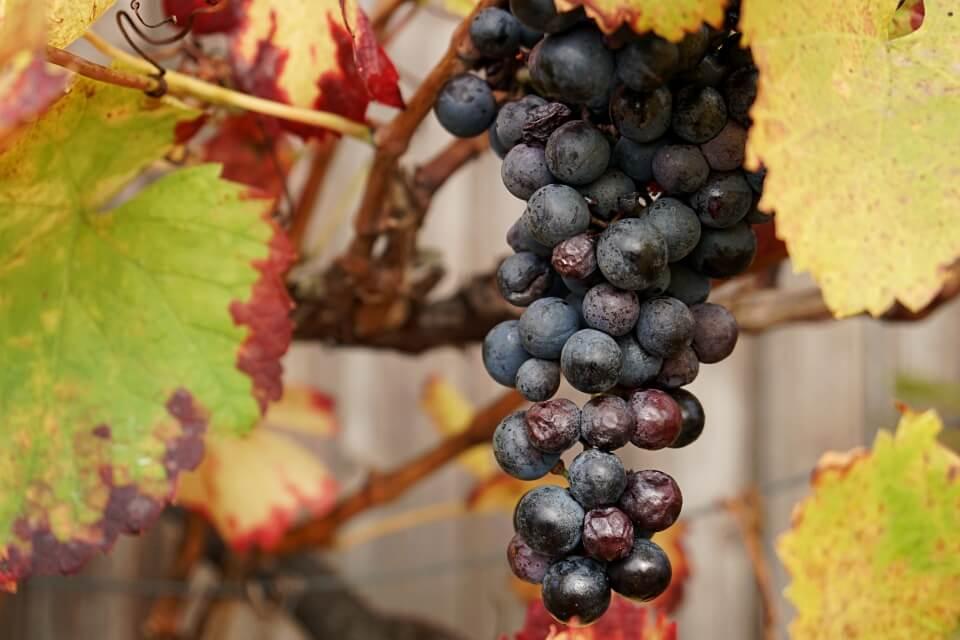 Wein in Hohenlohe