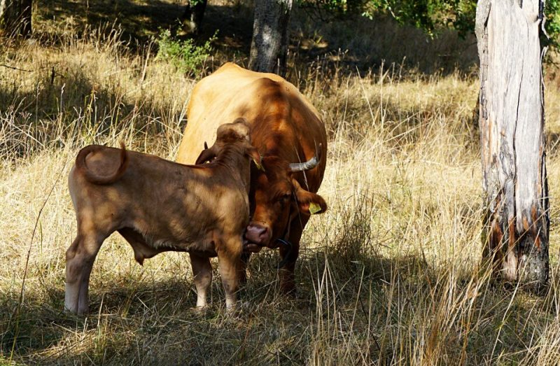 Limpurger Rinder im Hohenloher Freilandmuseum Wackershofen