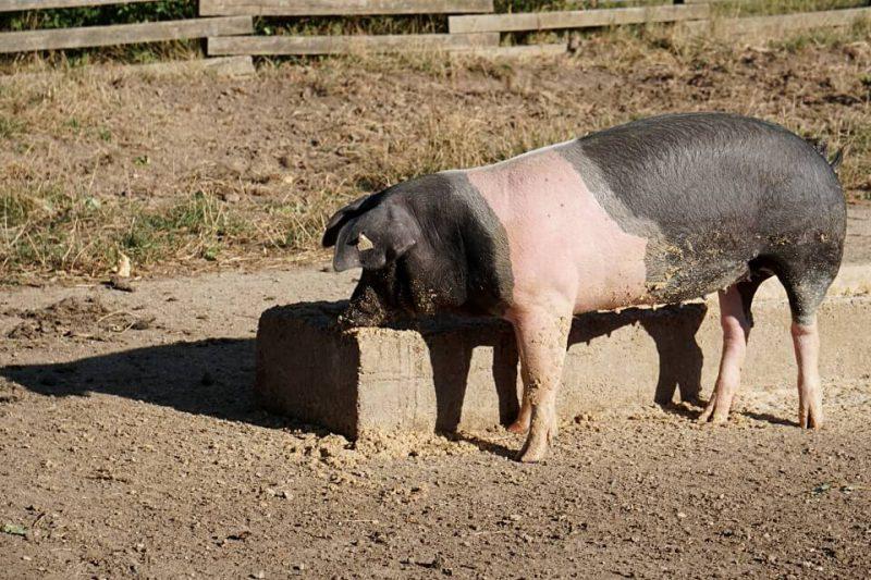 Das Schwaebisch Haellische Landschwein