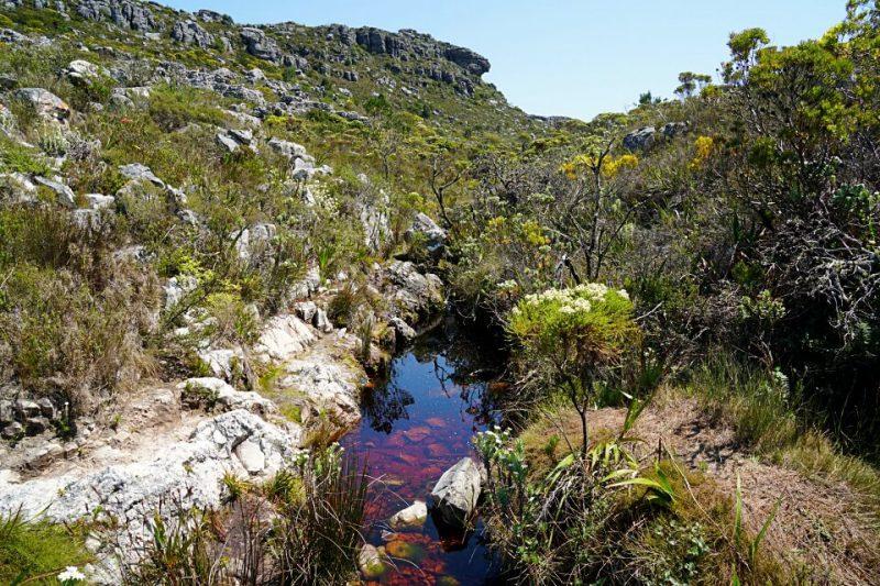 Tolle Natur und Fynbos auf unserer Wanderung auf den Tafelberg