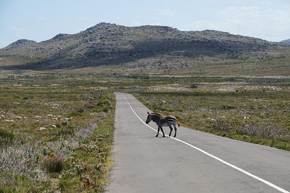 Kap Zebra auf der Kap Halbinsel in Suedafrika