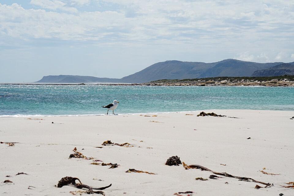 Eine Moewe am Strand der Kap Halbinsel