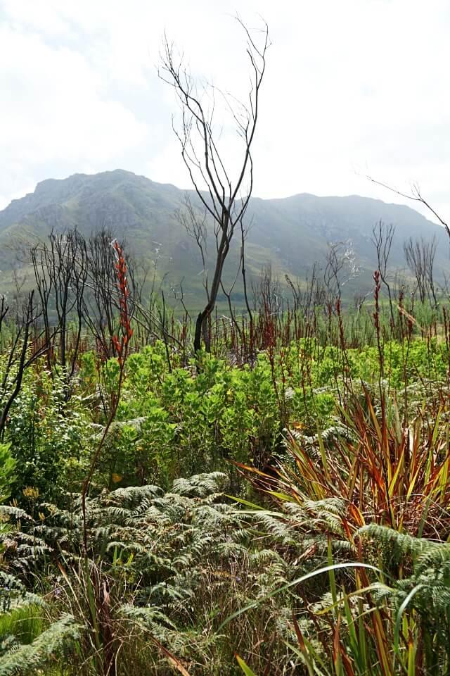 Spuren des Brands im Kogelberg Nature Reserve