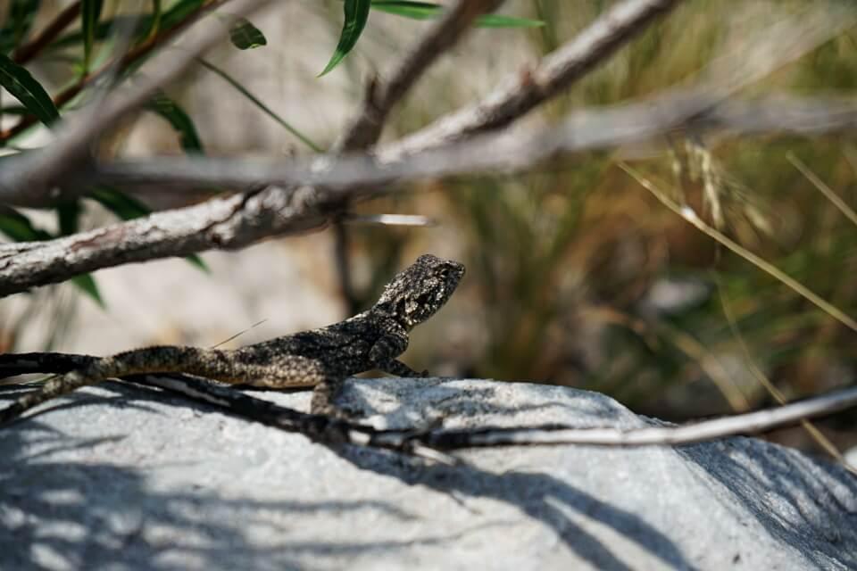 Gecko in Suedafrika