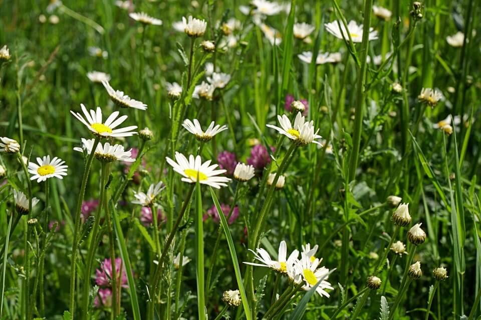 Blumenwiese Schwaebische Alb