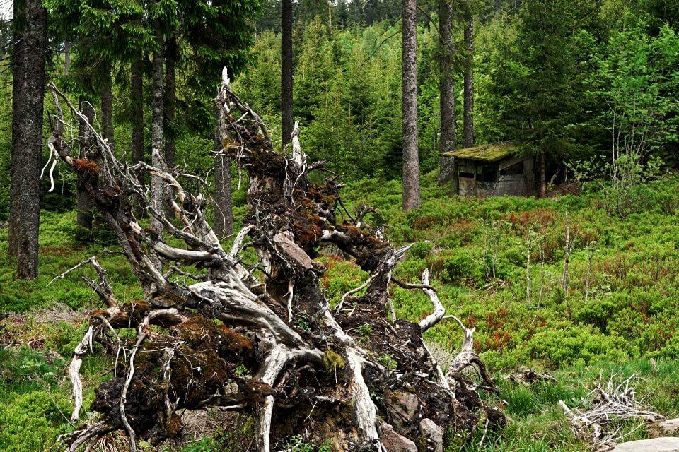 Entwurzelter Baum auf der Naturgewalten Tour im Schwarzwald