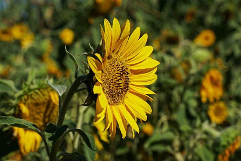 Sonnenblume beim Wandern durch das Steinbachtal